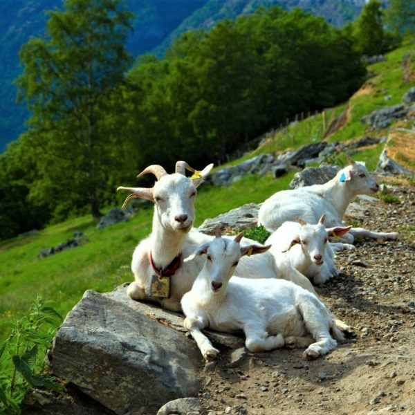 Goats in the fjords of Norway