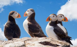 Fascinating puffins on the shore of the fjord