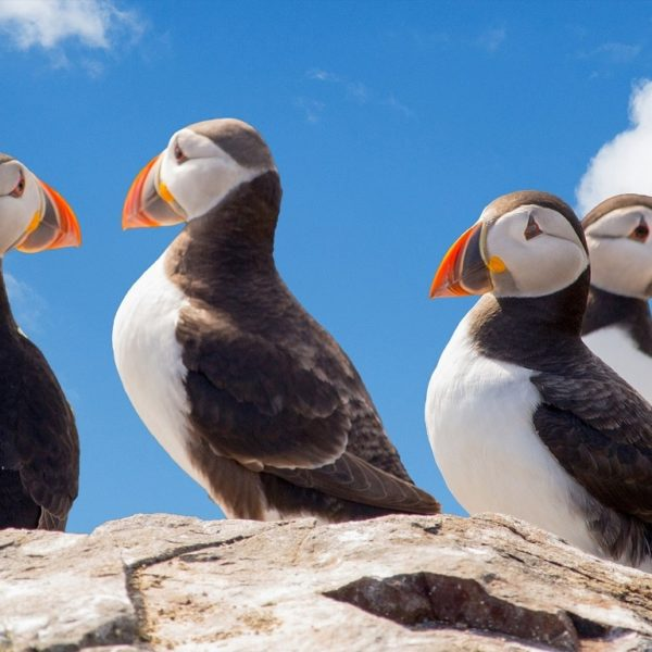 With a little luck you will be able to observe the sweet puffins