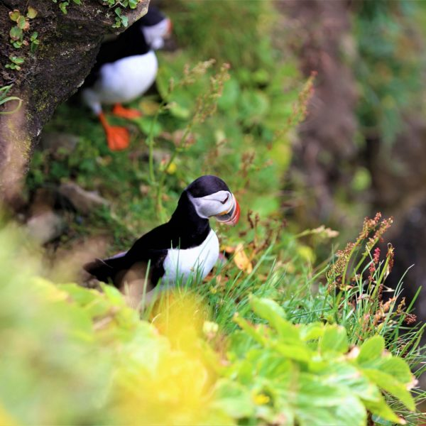 Puffins to look for