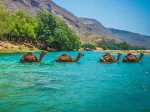 Camels taking a dip in fresh water